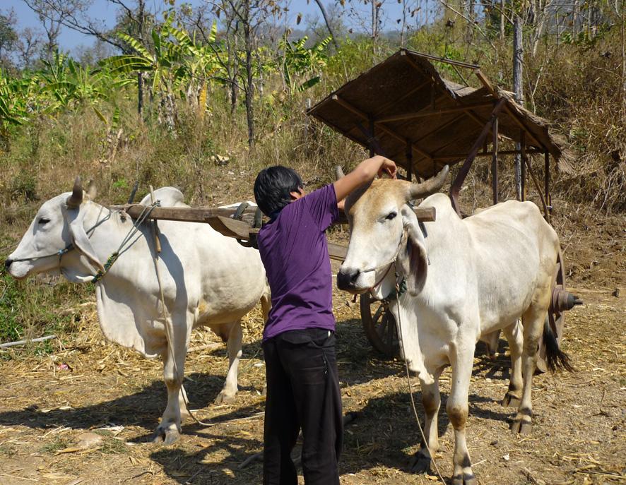 Ochsenkarren in Thailand
