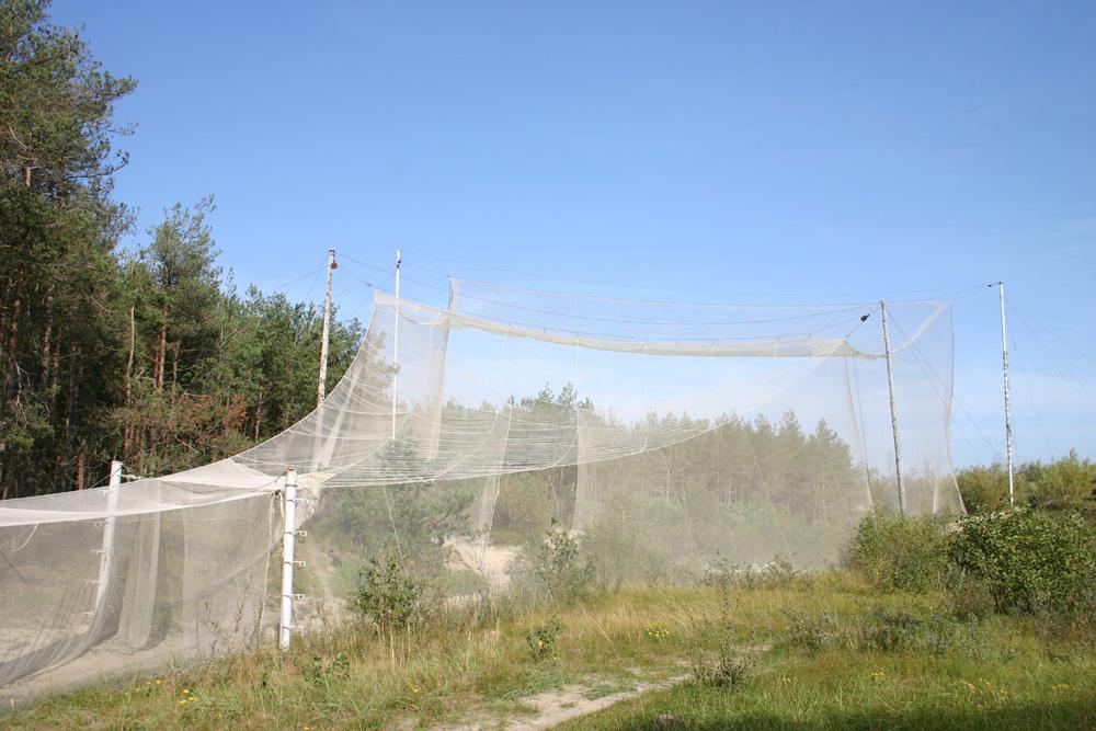 Auch heute noch werden die Vögel in weitgespannten Netztrichtern gefangen und anschließend beringt.