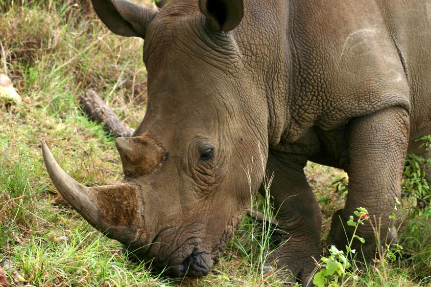 """Safaris in Südafrika und Botswana: """"Der Spiegel"""" In Südafrika tobt ein erbitterter Kampf um die Nashörner. Die Zahl der gewilderten Tiere steigt dramatisch. Auch Gäste-Lodges und ihre Ranger setzten sich für die grauen Riesen ein - und hoffen auf Touristen als Botschafter."""