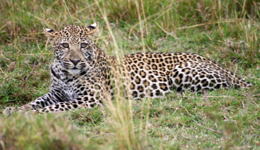 Wir wollten nach 2006 (Amboseli-Nationalpark) eigentlich nicht wieder nach Kenia. Durch die sich abzeichnende Pleite eines Schweizer Veranstalters purzelten jedoch im Mai 2008 die Safari-Preise derart in den Keller, dass wir dem Vorsatz untreu wurden. Wir haben die Masai Mara nie bereut! Wir haben dort endlich die Big Five aus nächster Nähe gesehen. Es gab nur diesen schmalen Zeitkorridor, wir hätten den Verzicht ewig bereut. Heutzutage wäre Kenia kein Thema (mehr).