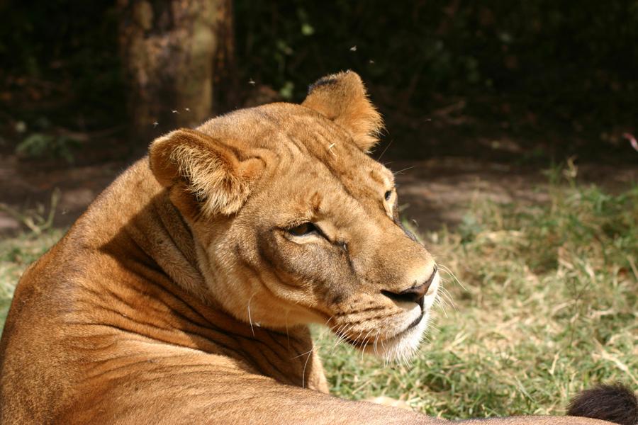"""Der Löwe brüllt nur in der Nacht: """"Der Tagesspiegel"""" Der Kidepo-Valley-Nationalpark liegt abgeschieden im Norden von Uganda. Man kommt schwer hin. Wer dort ist, erlebt Wildnis und Tiere hautnah."""