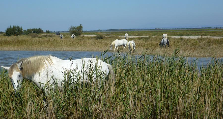 Die Camargue zieht mit der Kraft der dort lebenden Pferde immer wieder an!