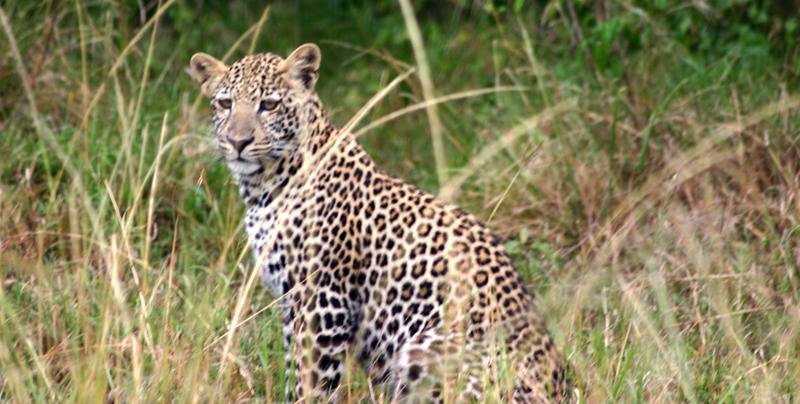 """Raubkatzen in Namibia: """"Süddeutsche""""  Seit es Farmer gibt in Namibia, werden Raubkatzen von ihnen gejagt. Nun aber erkennt man den Wert der Tiere. Denn Touristen zahlen viel, um ihnen nahe zu sein."""