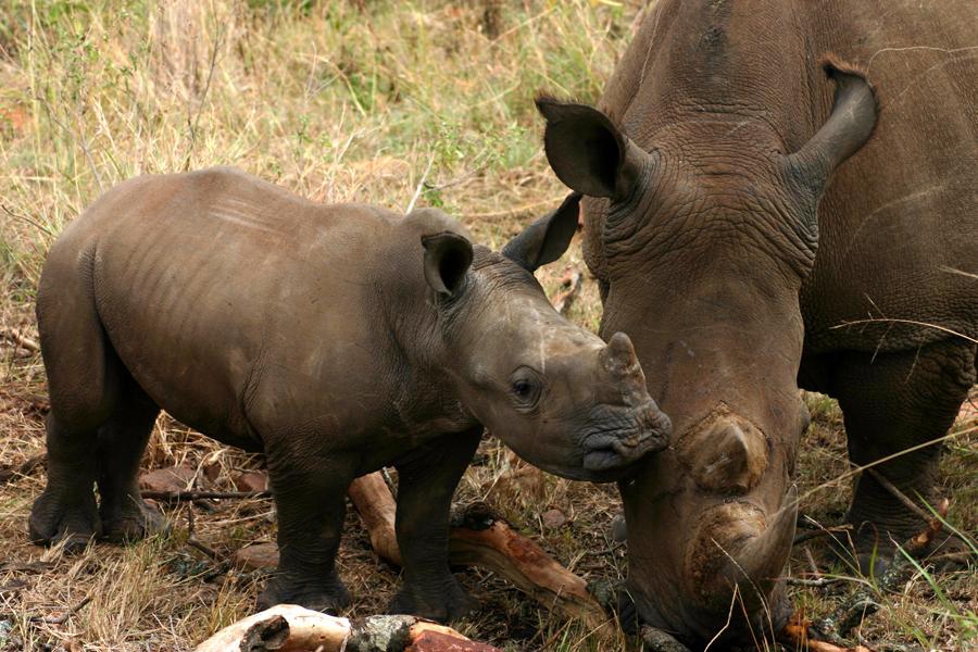 """Dem Nashorn auf der Spur: """"Der Tagesspiegel"""" Fünfmal so groß wie Berlin ist die Palmwag Concession, ein Nashorn-Schutzgebiet in Namibia. Besucher können die seltenen Tiere dort in freier Wildbahn erleben."""